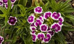 2711  Flores (Ricard Gabarrús) Tags: flor flores plantas natura naturaleza botanica jardin ricardgabarrus floral parque olympus ricgaba