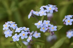 Forget-me-not (Linda Ramsey) Tags: