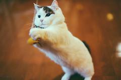 2019.5.22 : 5/365 (Nazra Z.) Tags: munchkin cat 365 ayearofjoys raw okayama japan 2019 vscofilm playing