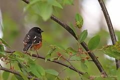 Bird_2019_05_14_2284sm (karenpatterson) Tags: easterntowhee pipiloerythrophthalmus songbird avian