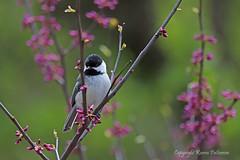 Bird_2019_05_10_2245sm (karenpatterson) Tags: blackcappedchickadee poecileatricapillus backyardbird songsparrow avian redbudtree