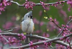 Bird_2019_05_10_2240sm (karenpatterson) Tags: tuftedtitmouse baeolophusbicolor songbird avian birdinredbudtree spring birdinspring nature backyardbird