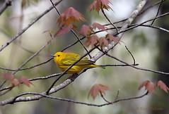 Bird_2019_05_10_2227sm (karenpatterson) Tags: yellowwarbler dendroicapetechia songbird avian migratingbird nature