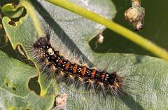 """Lymantria dispar"" - plakker (bugman11) Tags: plakker lymantriadispar bug bugs fauna macro nature nederland thenetherlands boxtel kampina leaf insect insects caterpillar caterpillars animal animals"