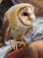 Chouette la vie, oh Oui ! EXPLORE à la place 70 du 22 mai. Merci (Kermitfrog ;-)) Tags: chouette médiéval fêtemédiévale dole jura 39 bourgognefranchecomté oiseaux owl