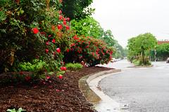 2019.05.04 Vermont Avenue Garden Blooms and Work Party, Washington, DC USA 01980