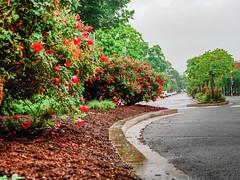 2019.05.04 Vermont Avenue Garden Blooms and Work Party, Washington, DC USA 01981