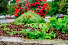 2019.05.04 Vermont Avenue Garden Blooms and Work Party, Washington, DC USA 01985