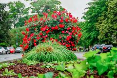 2019.05.04 Vermont Avenue Garden Blooms and Work Party, Washington, DC USA 01986