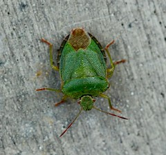 Green Shield Bug, Garden, Upper Cwmbran 22 May 2019 (Cold War Warrior) Tags: green shield bug garden cwmbran