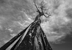 Char Bark (JasonCameron) Tags: fire bark tree monochrome black white sky clouds char nature