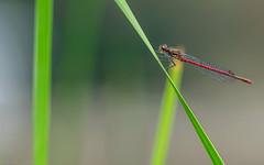The first (katrin glaesmann) Tags: früheadonislibelle largereddamsel largereddamselfly pyrrhosomanymphula hannover stadtpark