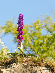 Early Purple Orchid, Tideswell Dale (little mester.) Tags: earlypurpleorchid orchismascula tideswell tideswelldale limestonedales derbyshire orchid whitepeak peakdistrictnationalpark
