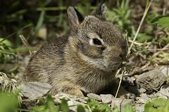 Wild Baby Rabbit (bamp88) Tags: wild baby rabbit outdoor nature animal bunny canoneos70d