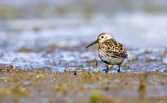 Lóuþræll - Dunlin - Calidris alpina (Mikael Sigurðsson) Tags: manfrotto mikaelsigurðsson amazing nikon nikkor nature national nice north animal bird birding beautiful birds fave capture closeup colours contrast colour iceland animals astonishing fantastic snow sea stunning summer siglufjörður spring supershot d500 f56 fantasticnature fall great head headshot ljósmyndun wildlife winter water wild wader white waterfowl outside