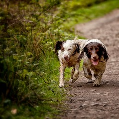 Brothers (Missy Jussy) Tags: brothers health englishspringer springerspaniel spaniel dogs dogwalk pets animals running happiness valley piethornevalley path brambles 70200mm ef70200mmf4lusm canon5dmarkll canon northwest littledoglaughedstories