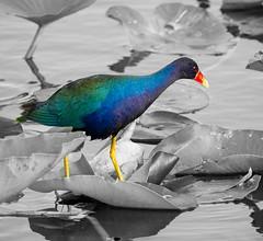 Purple Gallinule (MJRodock) Tags: olympus em1 mzuiko digital ed 40150mm f28 purple gallinule bird