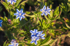 Star Lithodora (arlinescottphotography.com) Tags: arlinescottphotography in my yard hanging basket garden flowers bacopa poppy lithodora star dream queen hosta minuteman lobelia babys breath snapdragon helen iris yellow white purple blue varigated leaf foliage flower rochester washington state thurston county 2005