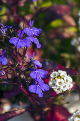 Lobelia and Baby's Breath (arlinescottphotography.com) Tags: arlinescottphotography in my yard hanging basket garden flowers bacopa poppy lithodora star dream queen hosta minuteman lobelia babys breath snapdragon helen iris yellow white purple blue varigated leaf foliage flower rochester washington state thurston county 2005