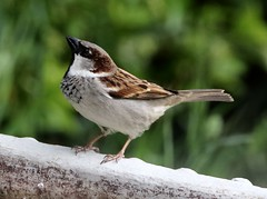 House Sparrow - male (Passer domesticus) (iainrmacaulay) Tags: bird mane provence france male house sparrow passer domesticus