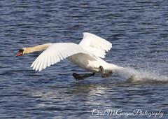 Running start (chrismcg40) Tags: nature wildlife swan lake water canon canon7dmarkii canon100400 canon100400lis canon7dmark2 bird white