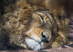 Quite tired lion (Tambako the Jaguar) Tags: lion big wild cat male close portrait face lying resting sleeping mane tired sunny closeup kevinrichardsonwildlifesanctuary southafrica nikon d5