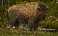 Bison Portrait (janeseibertphotography) Tags: bison buffalo animal photography animalphotography landscapephotography nature naturephotography yellowstone nationalpark yellowstonenationalpark