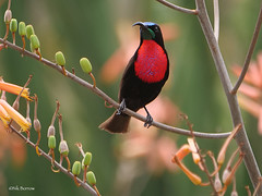 Scarlet-chested Sunbird Chalcomitra senegalensis lamperti (nik.borrow) Tags: bird sunbird ndutu