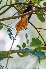Африканская райская мухоловка, Terpsiphone viridis granti, African Paradise-Flycatcher (Oleg Nomad) Tags: африканскаярайскаямухоловка terpsiphoneviridisgranti africanparadiseflycatcher птицы ботсвана африка bird aves africa botswana