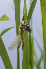 Emergence (D4vidL) Tags: dragonfly canon eos7d sigma 180mm macro nature insect wildlife metamorphosis