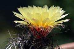 Bockshorn-Kaktus (Astrophytum capricorne)   .  _DSC0310-001 (Maya HK - On and Off) Tags: 2019 220519 astrophytumcapricorne blütengelb bockshornkaktusastrophytumcapricorne cactus cactusblossoms cactusflowers copyrightbymayahk flickr flordecactus frühling2019 heimatmexiko kakteen kaktus kaktusblüten macro makro nikond3200 pflanzen plantas plants yemasflorales