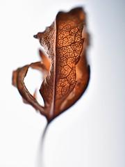 Foglia secca (lucamarasca1) Tags: nikkor50mm14 dslr dettagli makro closeup scattinaturali flower fogliasecca 50mm14 altoadige nikond5500 nikkor nikon details explore colorinaturali macro coloriautunnali autunno natura foglie foglia nature