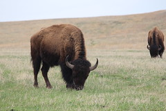 More buffaloes inside Custer State Park in South Dakota (Hazboy) Tags: hazboy hazboy1 south dakota buffalo bison custer state park animals april 2019 west western us usa america