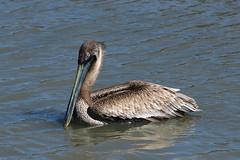 Brown Pelican IMG_0120 (artjf) Tags: pelican bird