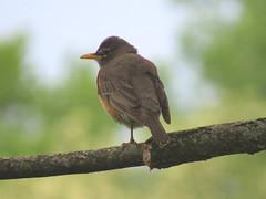 IMG_2549 (kennethkonica) Tags: nature birds animalplanet animal animaleyes autumn canonpowershot canon usa america midwest indianapolis indiana indy color outdoor wildlife