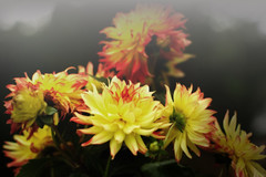 Dahlia (cooper.gary) Tags: affinityphoto canon canonef50mmf12lusm canoneos canoneos5dmarkii canonphotography dahlia daisy flora flower garden mindfulness moment mood red spring wabisabi yellow zen mexicanplant compositae dahl