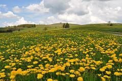 """Auf 950m Höhe blüht er noch... (Uli He - Fotofee) Tags: ulrike """"ulrike he"""" uli """"uli hergert"""" hergert nikon """"nikon d90"""" fotofee fotografie hobbie wanderung rhön """"hessische rhön"""" wasserkuppe pferdskopf eube guckaisee himmlisch wandern wolken himmelblau orchideen """"wilde orchideen"""" berge vulkan vulkane"""