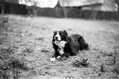 Hamlet (All Aspects of Photography) Tags: 35mm leica m3 fp4 pmk pyro film farm livestock goat sheep dog cat
