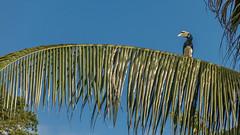 (zwierzory) Tags: borneo kinabatangan kinabatanganriver maleysia malezja sabah wildlife animal bird hornbill dzioborożec