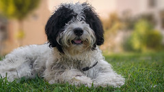 Koti (guvenlik17) Tags: dogs animals cute dost model photo