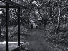 No Passing Zone (tpeters2600) Tags: alaska brownbears katmai brookscamp blackandwhite monochrome canon powershot