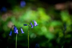 Purple Bells (NathalieSt) Tags: europe france salency hautsdefrance hybrid nikon nikonz6 nikonpassion nikonphotography oise picardie z6