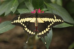 King Page Swallowtail Butterfly-Heraclides thoas (Phasmomantis) Tags: king page swallowtail butterflyheraclides thoas