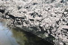 untitled (t-miki) Tags: cherryblossom itabashi tokyo river shakujiiriver 桜 板橋 東京 川 石神井川
