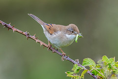 DSC5124  Whitethroat.. (Jeff Lack Wildlife&Nature) Tags: whitethroat birds bird avian animal animals wildlife wildbirds woodlands woods woodland warbler warblers songbirds summermigrant countryside copse brambles heathland hedgerows heathlands heaths moorland marshland meadows marshes moors glades nature coth5
