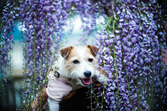 Wrapped by the Wisteria Flowers (moaan) Tags: shisoh hyogo japan dog jackrussellterrier kinoko portrait dogportrait dogphotography flowerflora flowering floweringplant wisteria wisteriaflowers focus foreground selectivefocus dof leica leicamp type240 noctilux 50mm f10 noctilux50mmf10 leicanoctilux50mmf10 bokeh bokehphotography utata 2019