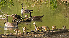 Canada Geese and Goslings at Thatcham Nature Discovery Centre (baldychops) Tags: goose geese gosling goslings canadagoose canadageese bird water lake cute fluffy tree trees adult young baby thatcham nature discovery naturediscoverycentre wildlife waterfowl