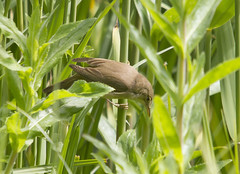 Reed Warbler (wayne.withers1970) Tags: small pretty bird wings color colorful nature natural colour colourful wild wildlife wales spring flickr dof naturephotography country countryside outside outdoors alive fauna flora canon sigma light blur brown green yellow lake river feathers water fine dark animal plant vegetation reeds warbler cardiff pond