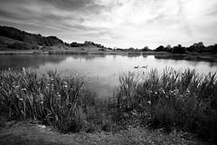 Canada Geese (weirdoldhattie) Tags: bristol stokepark lake water reflection geese bird purdown