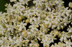 European Black Elderberry (Wild Chroma) Tags: sambucus nigra sambucusnigra flora netherlands viburnaceae dipsacales